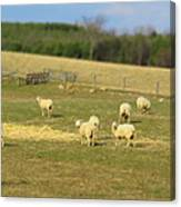 Sheep Out And About Canvas Print