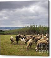 Sheep Pasturing Canvas Print