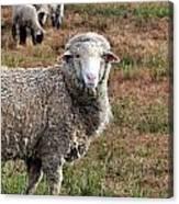 Sheep Portrait Canvas Print