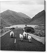 sheep walking away from camera down the middle of the road Doulough mayo ireland Canvas Print