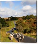 Sheep With Shepherd On A Quad Bike Canvas Print