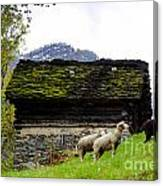 Sheeps And Rustic House Canvas Print