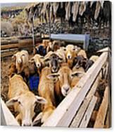 Sheeps Enclosure Canvas Print
