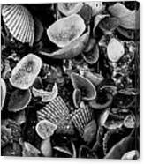 Shell Collection 3 Canvas Print