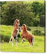 Shetland Pony's Canvas Print