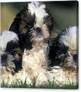 Shih Tzu Puppy Dogs Canvas Print