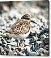 Shorebird Beauty Canvas Print