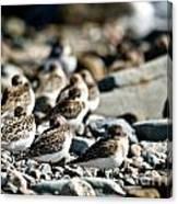 Shorebird Rest Time Canvas Print