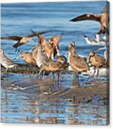 Shorebirds Flocking At Bodega Bay Canvas Print