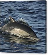 Short-beaked Common Dolphin Sea Canvas Print