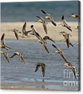 Short-billed Dowitchers Flying Canvas Print