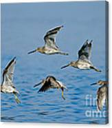 Short-billed Dowitchers In Flight Canvas Print