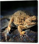 Short Horned Lizard Canvas Print