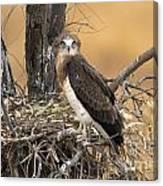 Short-toed Snake Eagle Circaetus Gallicus Canvas Print
