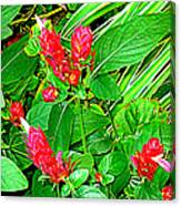 Shrimp Bloom Canvas Print