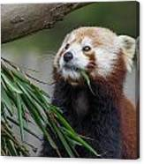 Shrinking Red Panda Canvas Print