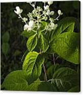Shrub With White Blossoms Canvas Print
