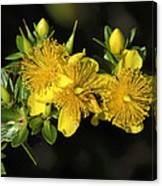 Shrubby St Johnswort Dsmf094 Canvas Print