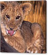 Shy African Lion Cub Wildlife Rescue Canvas Print