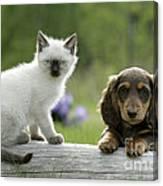 Siamese Kitten And Dachshund Puppy Canvas Print