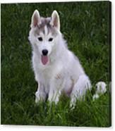Siberian Huskie Pup Canvas Print