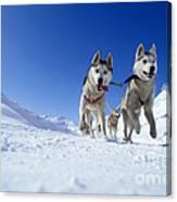 Siberian Husky Dogs Canvas Print