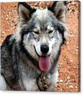 Siberian Husky With Blue And Brown Eyes Canvas Print