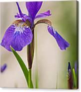 Siberian Iris Blossom Canvas Print