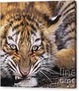 Siberian Tiger Cub Panthera Tigris Altaicia Wildlife Rescue Canvas Print