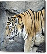 Siberian Tiger Panthera Tigris Altaica Usa Canvas Print