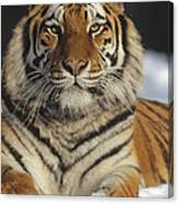 Siberian Tiger Portrait In Snow China Canvas Print