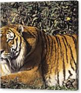 Siberian Tiger Stalking Endangered Species Wildlife Rescue Canvas Print