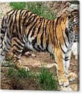 Siberian Tiger - Standing Canvas Print