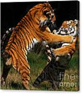 Siberian Tigers In Fight Canvas Print