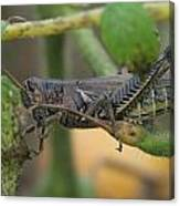 Side Of Big Brown Grasshopper Canvas Print