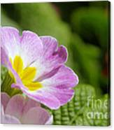 Side View Of A Spring Pansy Canvas Print