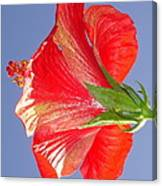 Side View Of Scarlet Red Hibiscus In Bright Light Canvas Print