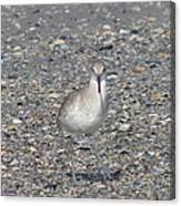 Sidestepping Sandpiper Canvas Print