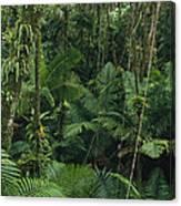 Sierra Palm Trees El Yunque Puerto Rico Canvas Print