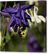 Silky Blue Columbine And A Busy Bee Canvas Print