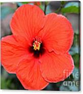 Silky Red Hibiscus Flower Canvas Print