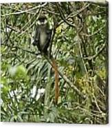 Silly Red-tailed Monkey Canvas Print