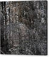 Silver Cedar Canvas Print