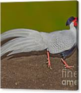 Silver Pheasant In Strutting Pose Canvas Print