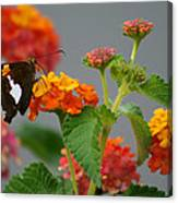 Silver-spotted Skipper Butterfly On Lantana Blossoms Canvas Print
