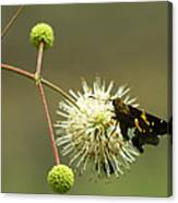 Silver-spotted Skipper On Buttonbush Flower Canvas Print