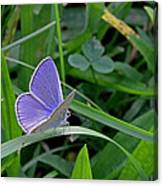 Silver Studded Blue Butterfly Canvas Print
