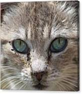 Silver Tabby But What Color Eyes Canvas Print