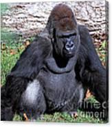 Silverback Western Lowland Gorilla Canvas Print