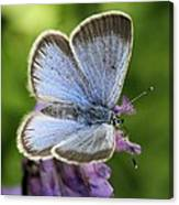 Silvery Blue Butterfly Canvas Print